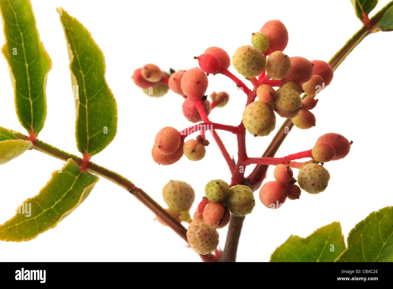 Fruits of Zanthoxylum piperitum, Japanese Pepper Tree, Japan Pepper, Sanshō Stock Photo