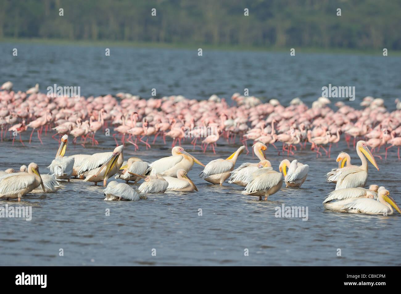 Flock of Great white pelican (Pelecanus onocrotalus) bathing near a flock of Lesser flamingo (Phoeniconaias minor) Stock Photo