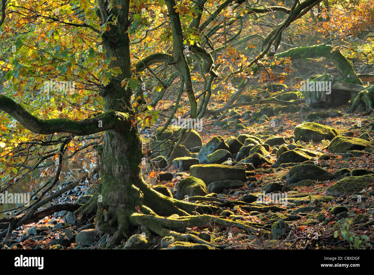 Light shines through the forest along Gouthwaite Reservoir between Ramsgill and Pateley Bridge in Nidderdale, Yorkshire, - Stock Image