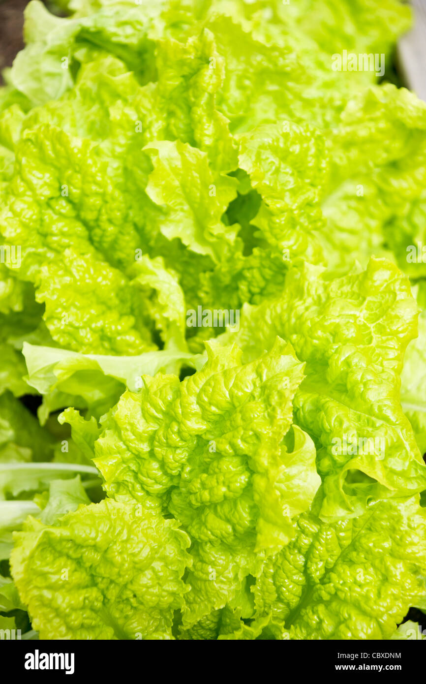 fresh green lettuce salad Stock Photo