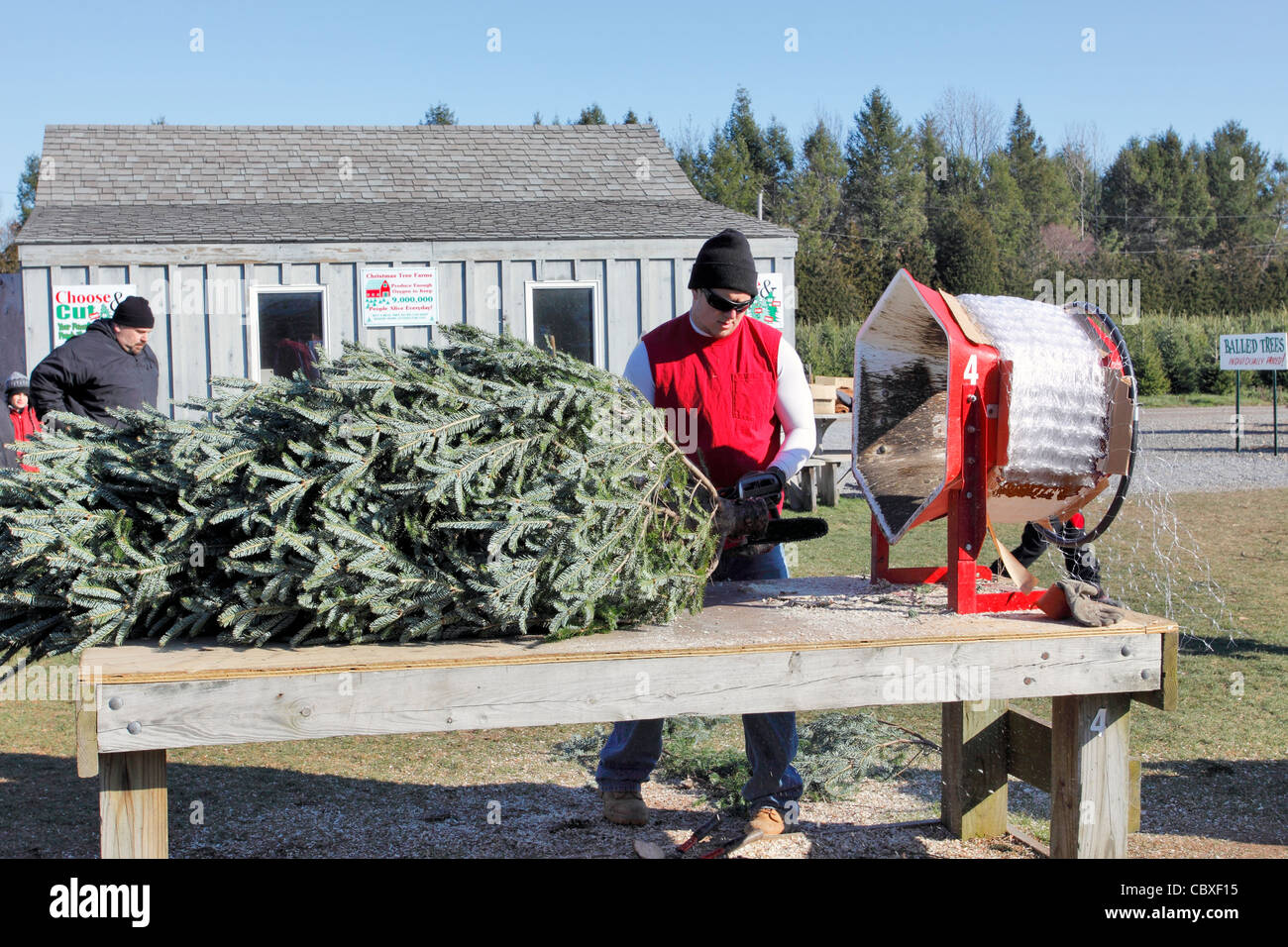 Cut Your Own Christmas Tree Long Island.Cutting Your Own Christmas Tree Stock Photos Cutting Your