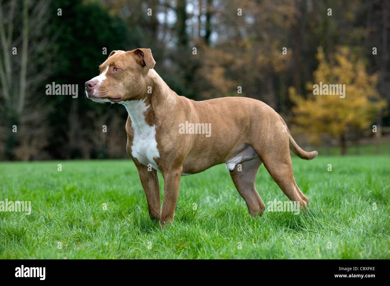 American Staffordshire Terrier in garden - Stock Image