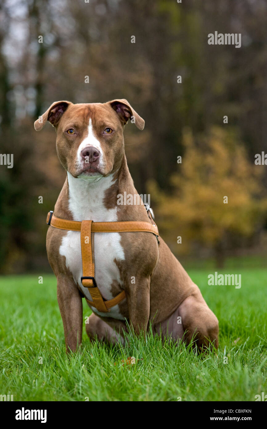 American Staffordshire Terrier wearing dog harness in garden - Stock Image