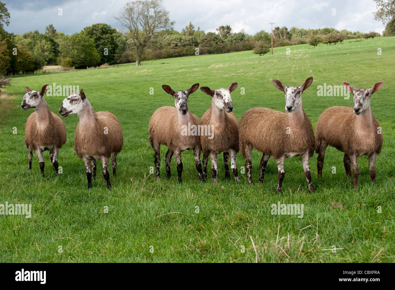 Bluefaced Leicester gimmer lambs in pasture all bred by embyro transplant. - Stock Image