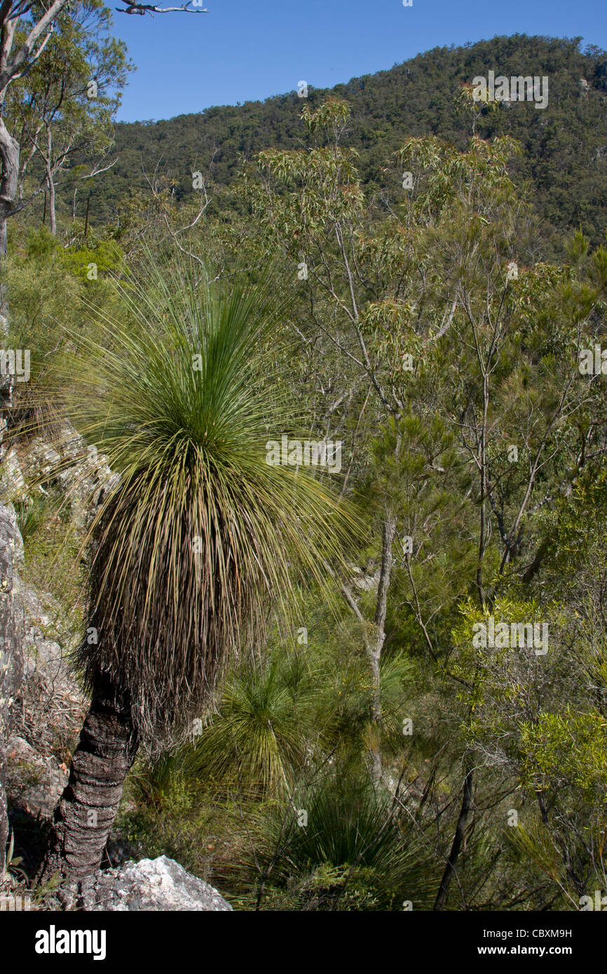 Grass tree and rugged Eucalypt forest near Mount Glorious - Stock Image