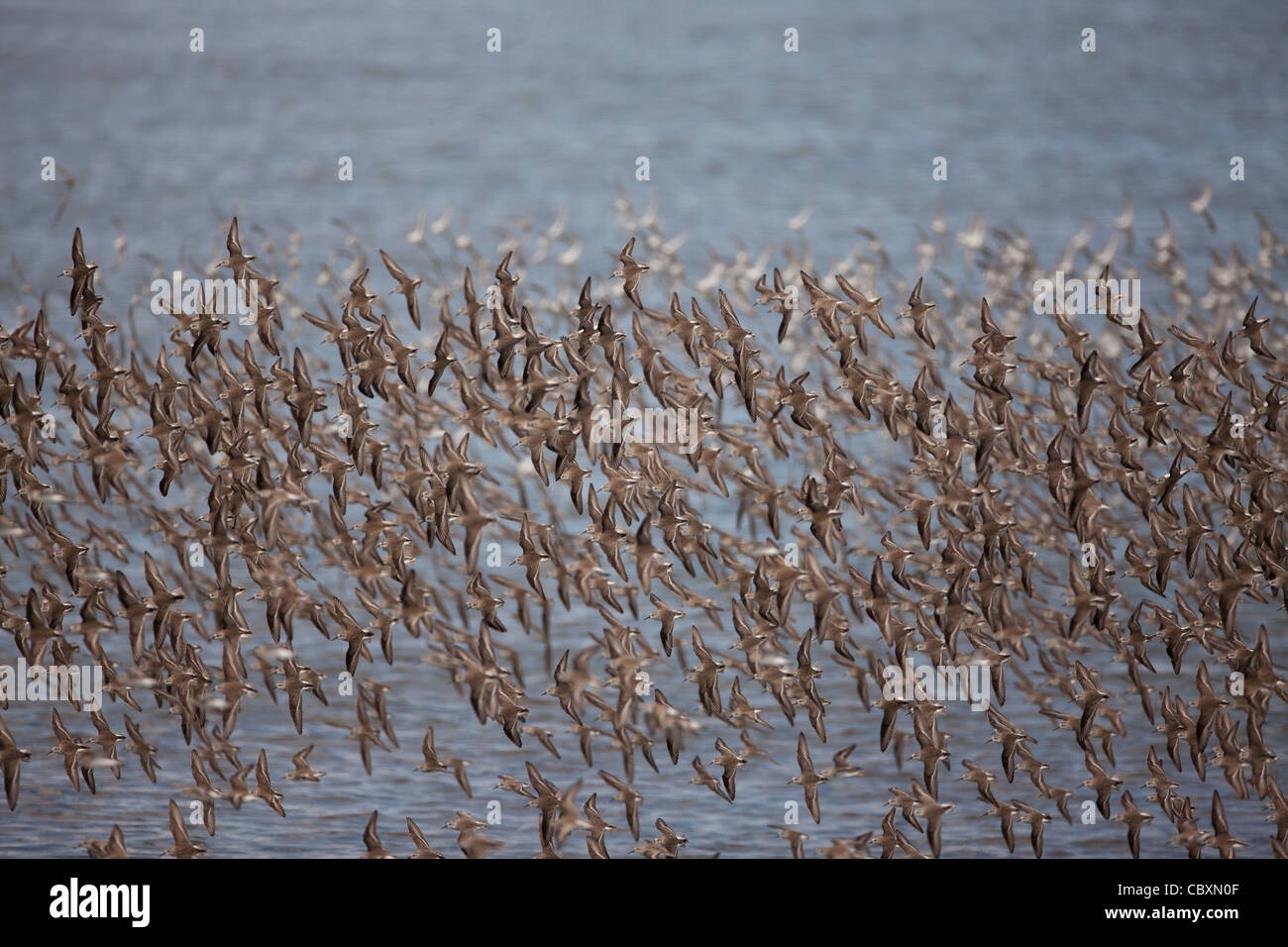 A flock of shorebirds in flight at Punta Chame, Pacific coast, Panama province, Republic of Panama. Stock Photo