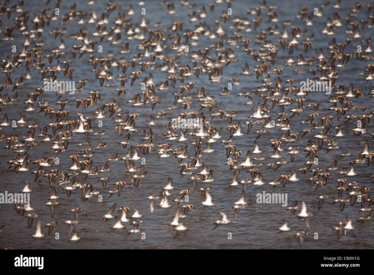 Flock of shorebirds in flight at Punta Chame, Pacific coast, Panama province, Republic of Panama. - Stock Image
