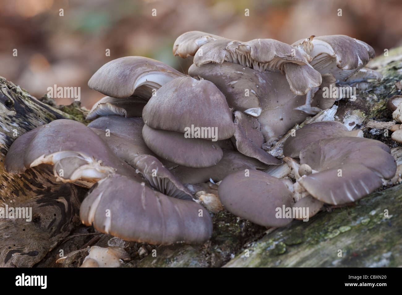 Oyster Mushroom Pleurotus ostreatus fungi fruiting bodies on a dead tree stump - Stock Image