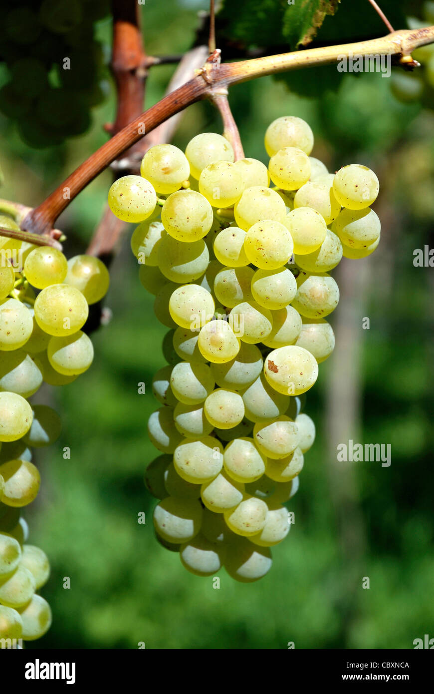 Grape in the cultivable area of Girlan at the South Tyrolean wine route. Stock Photo