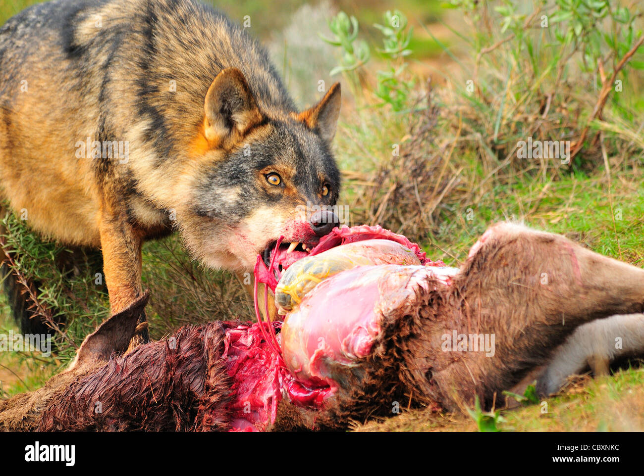 Iberian wolf (Canis lupus signatus) Iberian wolf feeding on Deer Controlled conditions - Stock Image