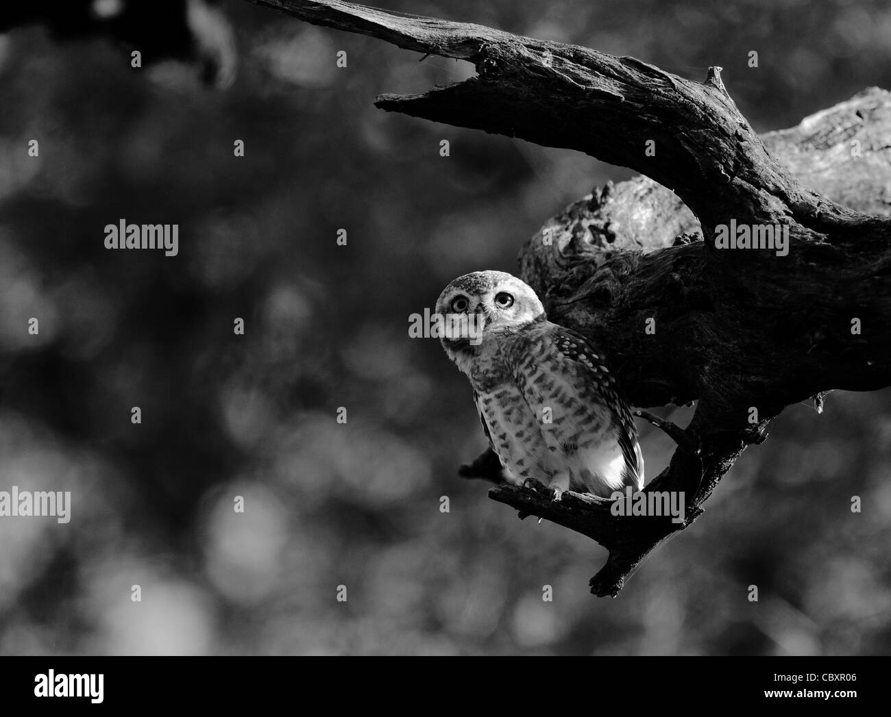 Spotted Owlet - Stock Image