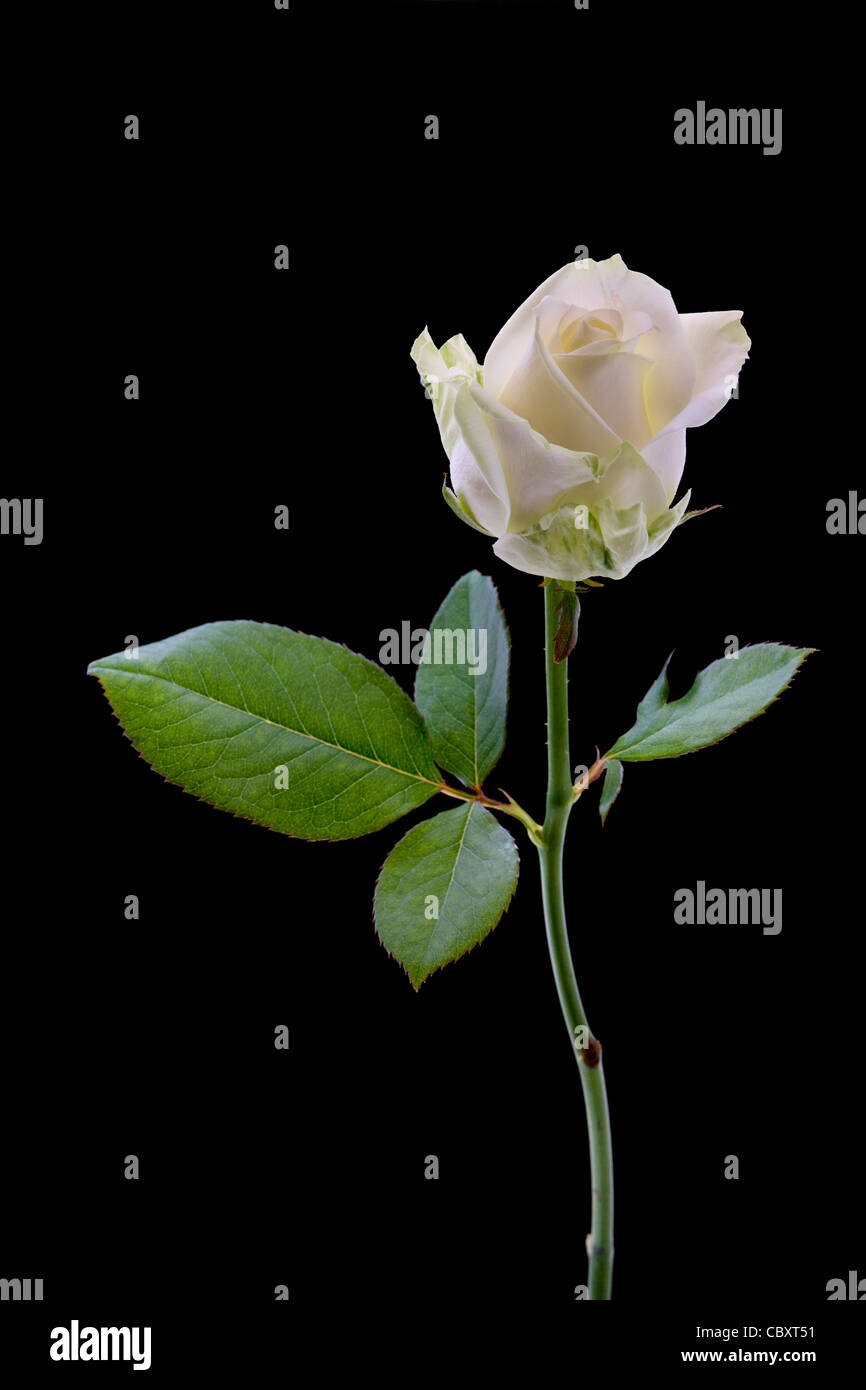 White rose close-up against black background - Stock Image