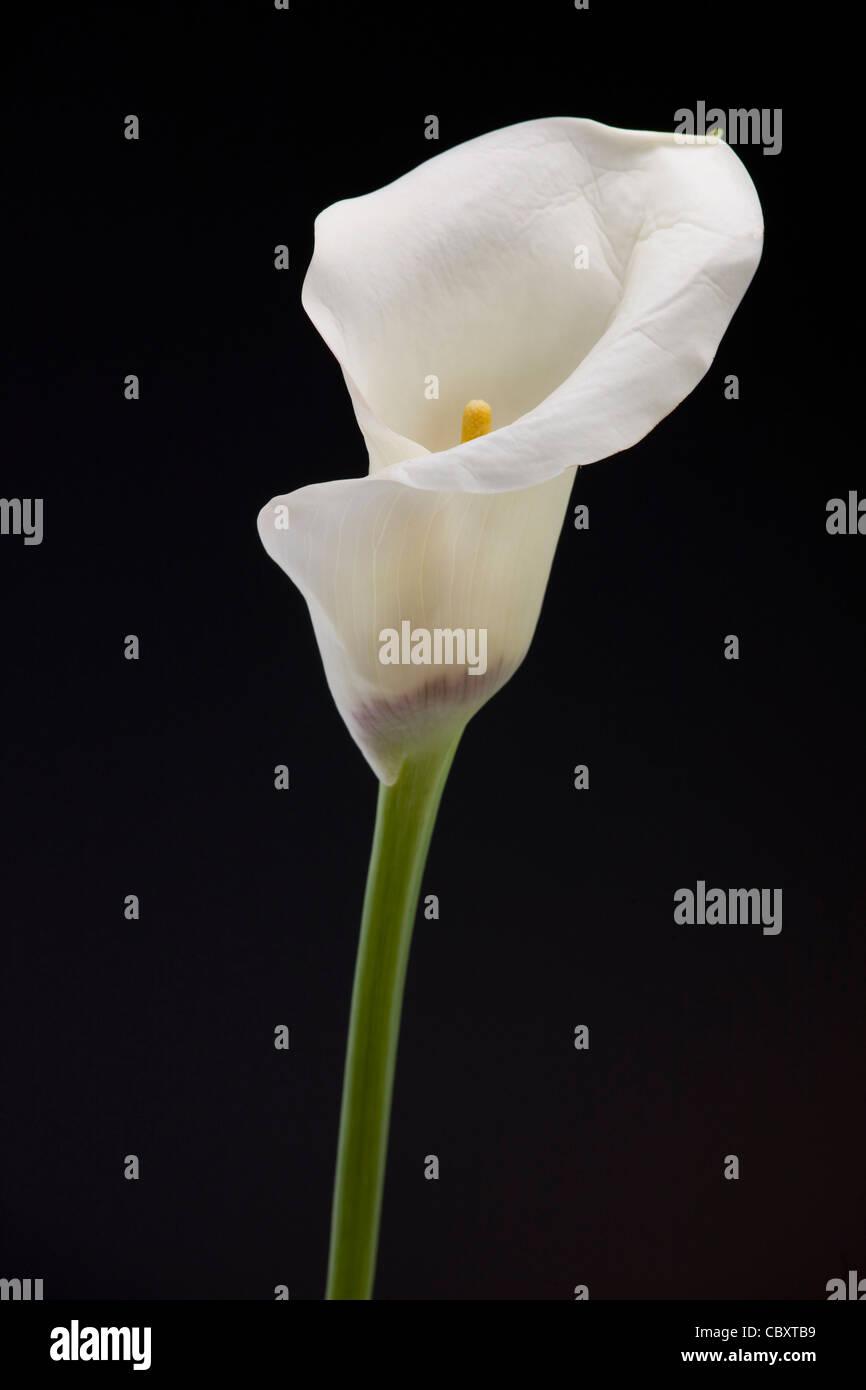 Zantedeschia / Calla lily, native to southern Africa - Stock Image