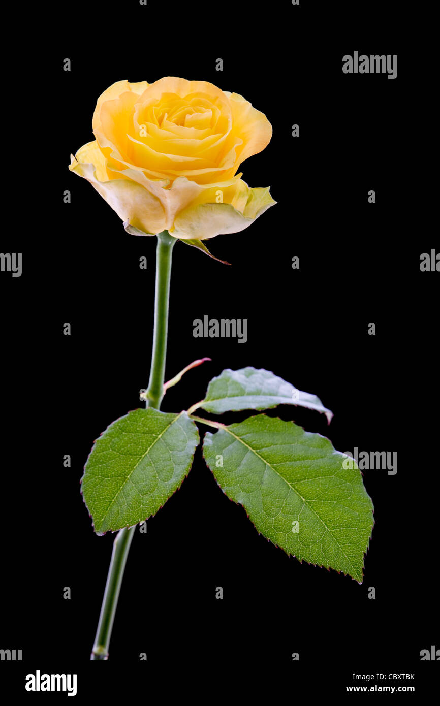 Yellow rose against black background - Stock Image