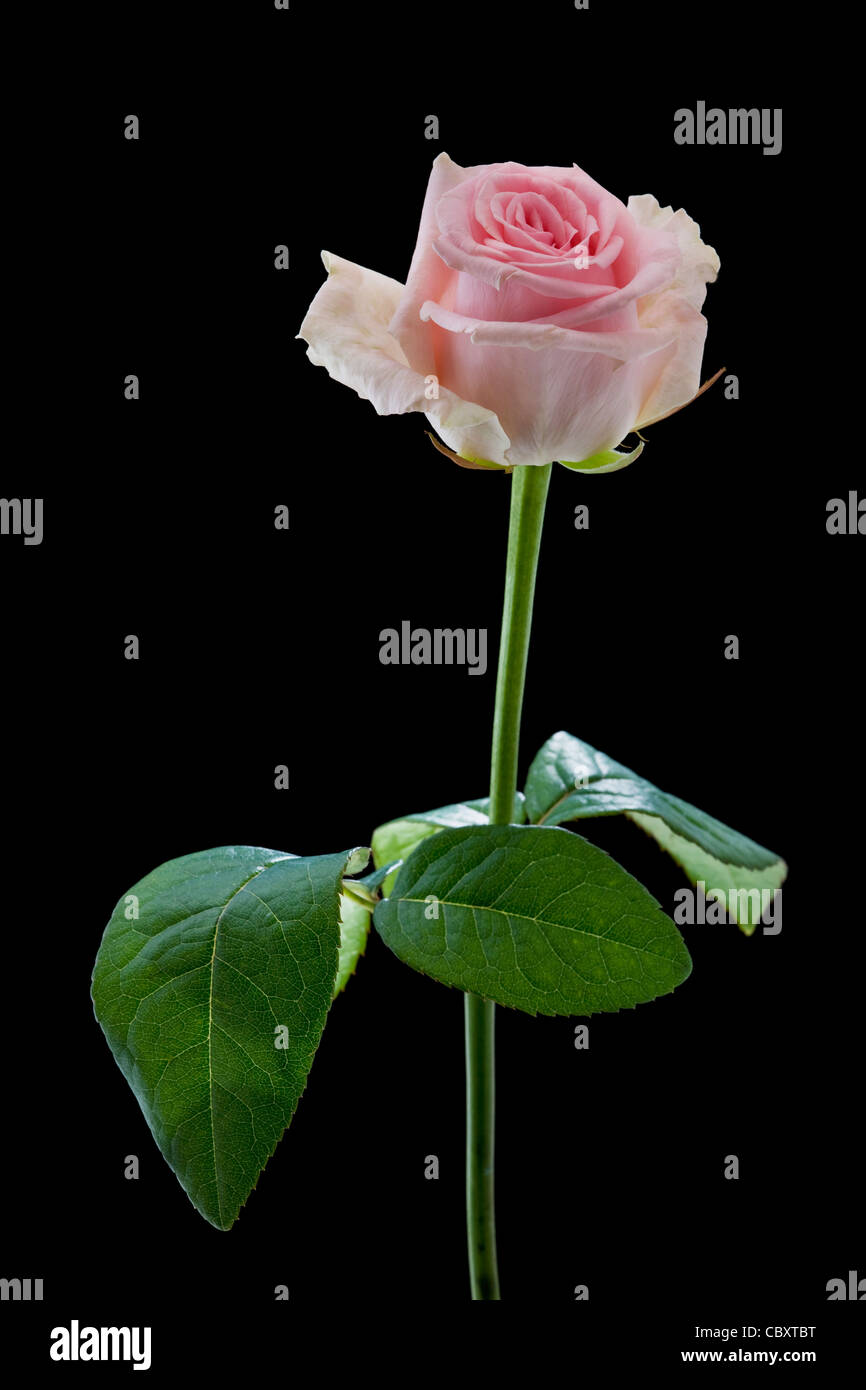 Pink rose close-up against black background - Stock Image