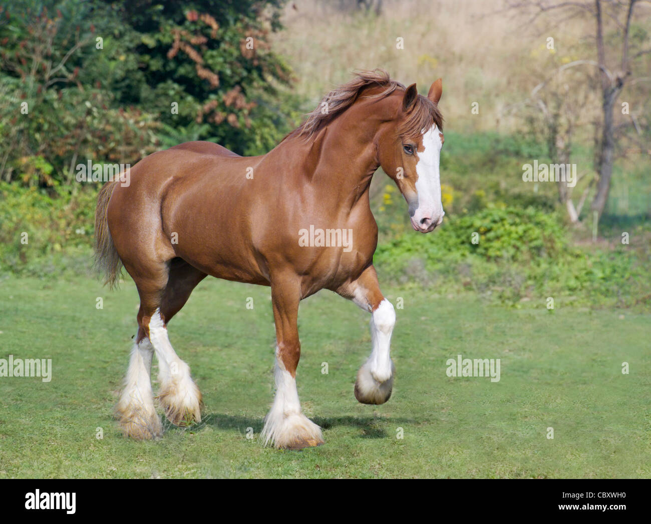 Clydesdale Draft Horse colt trots - Stock Image