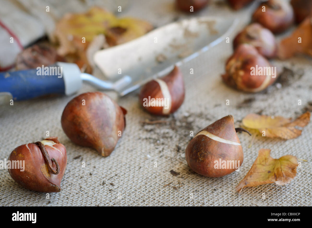 Tulip bulbs being readied for Fall planting - Stock Image