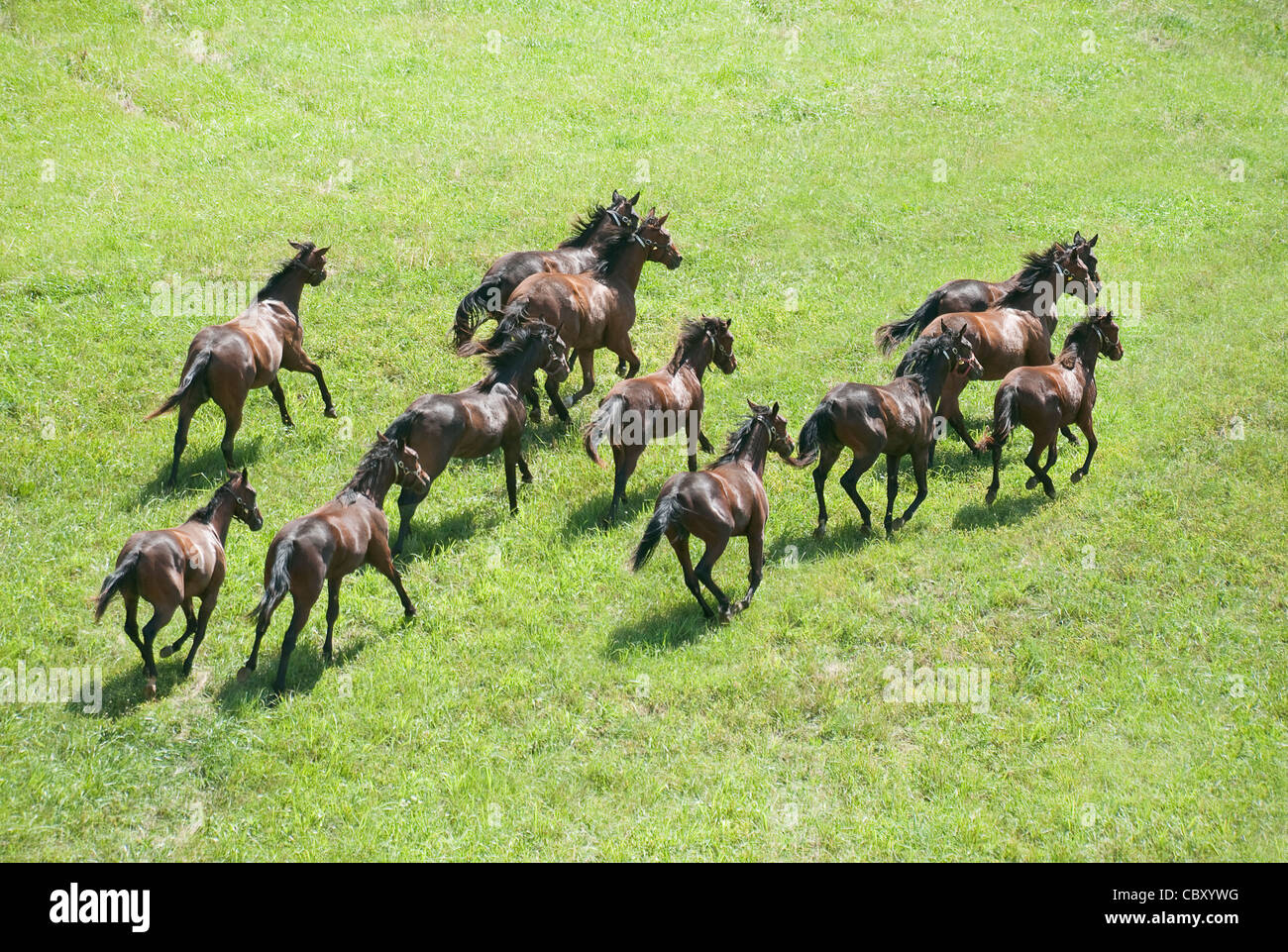 Herd of Thoroughbred horse yearlings gallop - Stock Image
