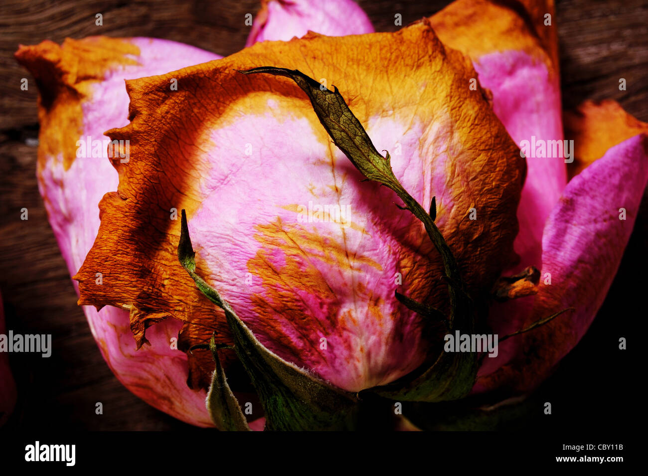 Dried pink roses on a wooden floor - Stock Image