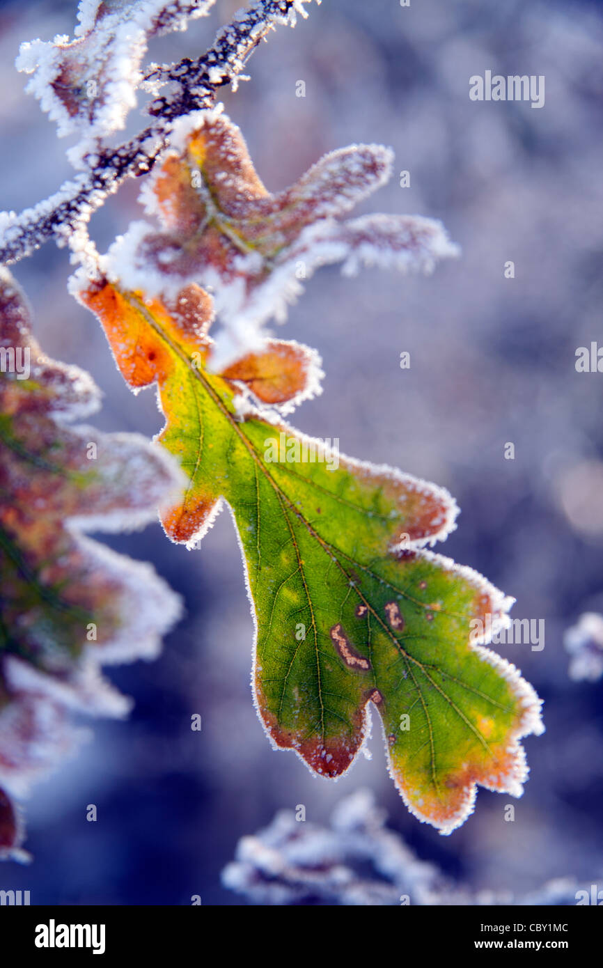 Frosted oak leaves (quercus robur) on a December morning. Stock Photo
