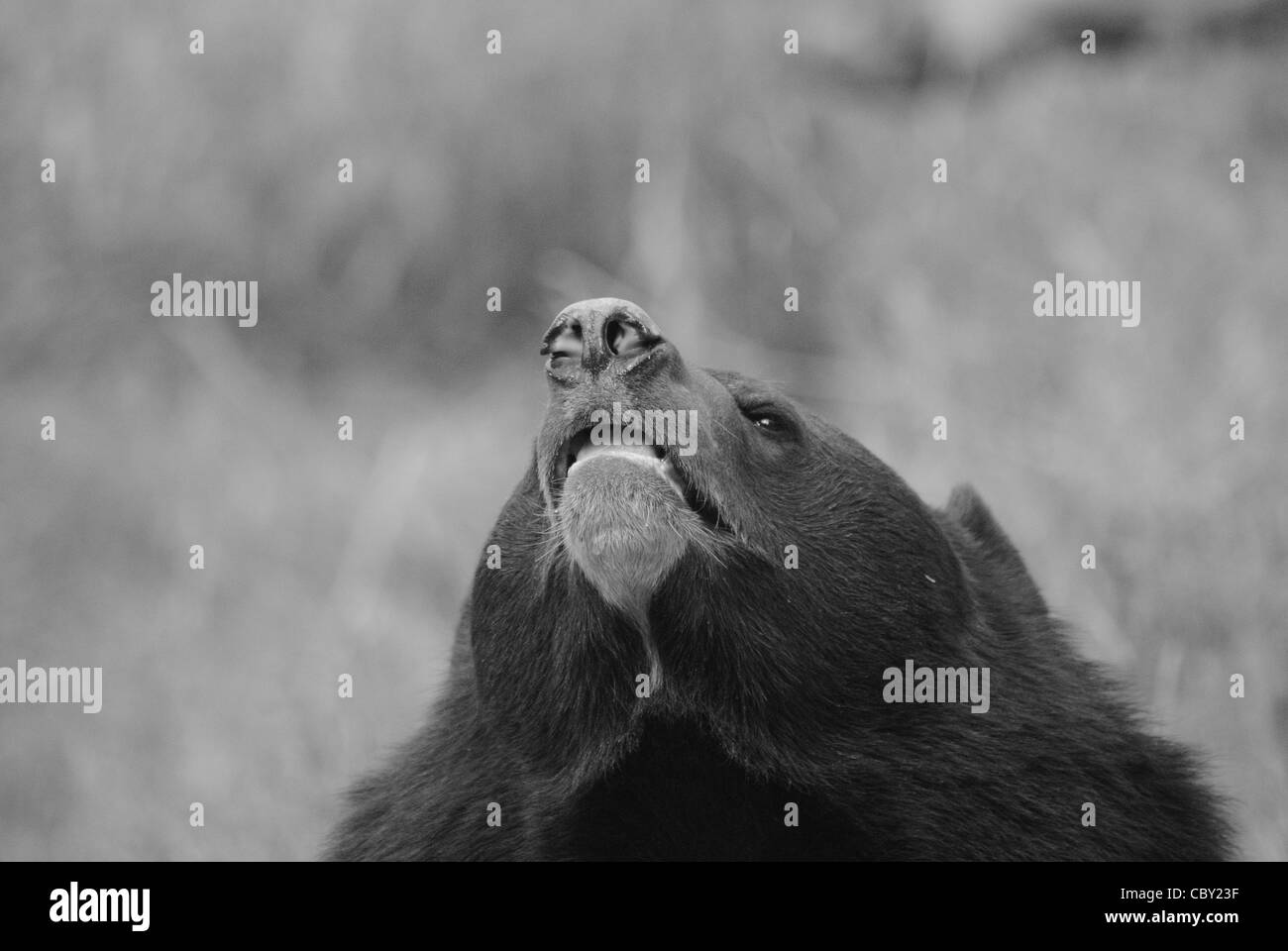 Himalayan black bear, (Ursus thibetanus). - Stock Image