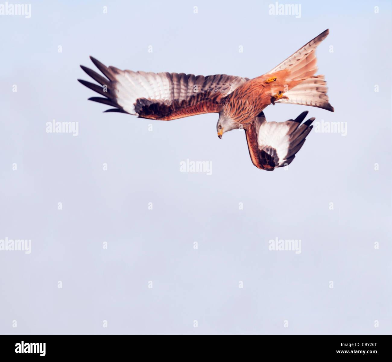 Red Kite Milvus milvus diving - Stock Image