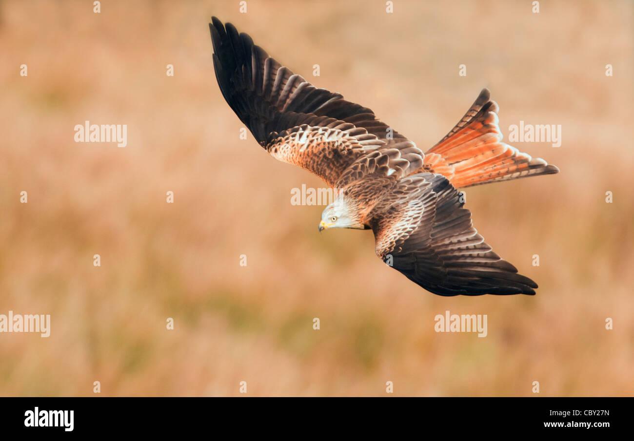 Red Kite Milvus milvus flying low over Welsh Countryside - Stock Image