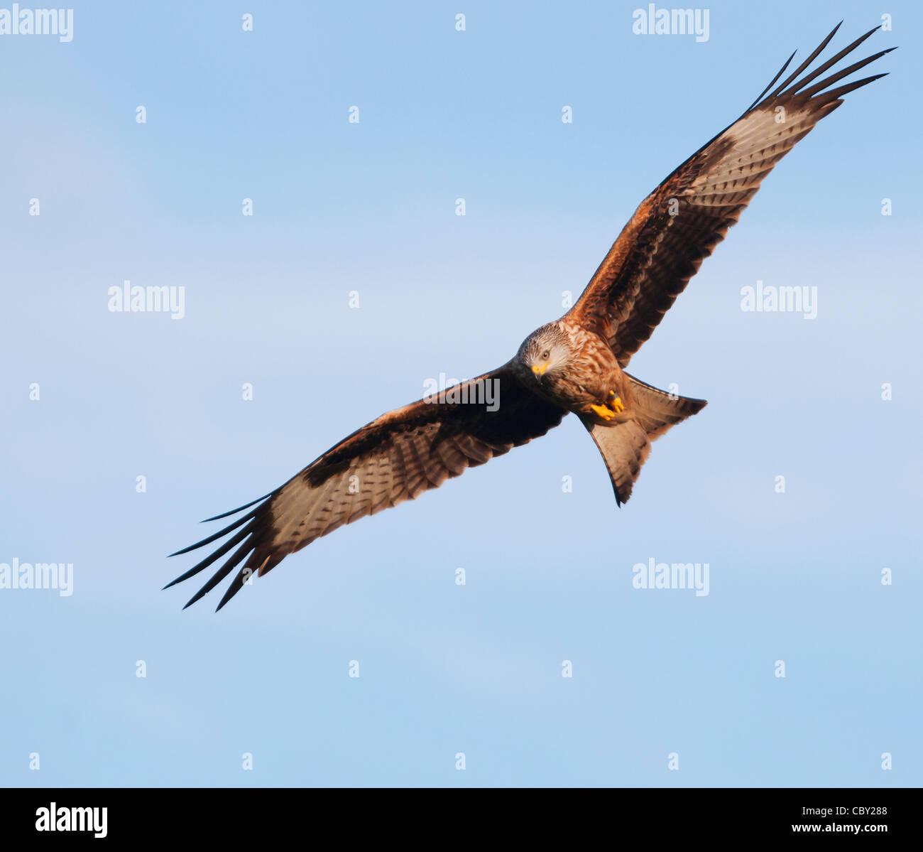 Red Kite Milvus milvus - Stock Image
