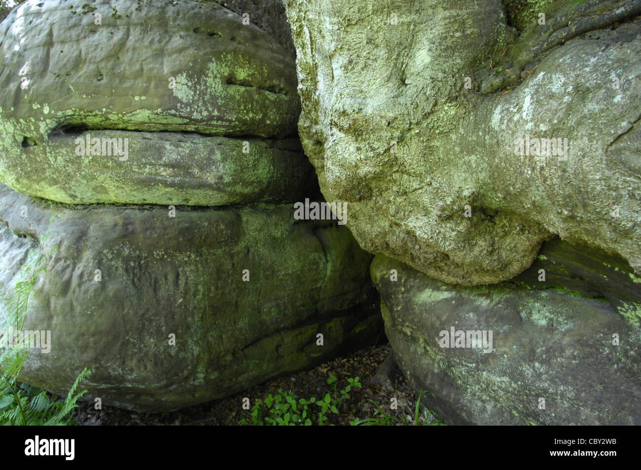 Large beech tree roots merge with sandstone rocks in Uckfield, East Sussex - Stock Image