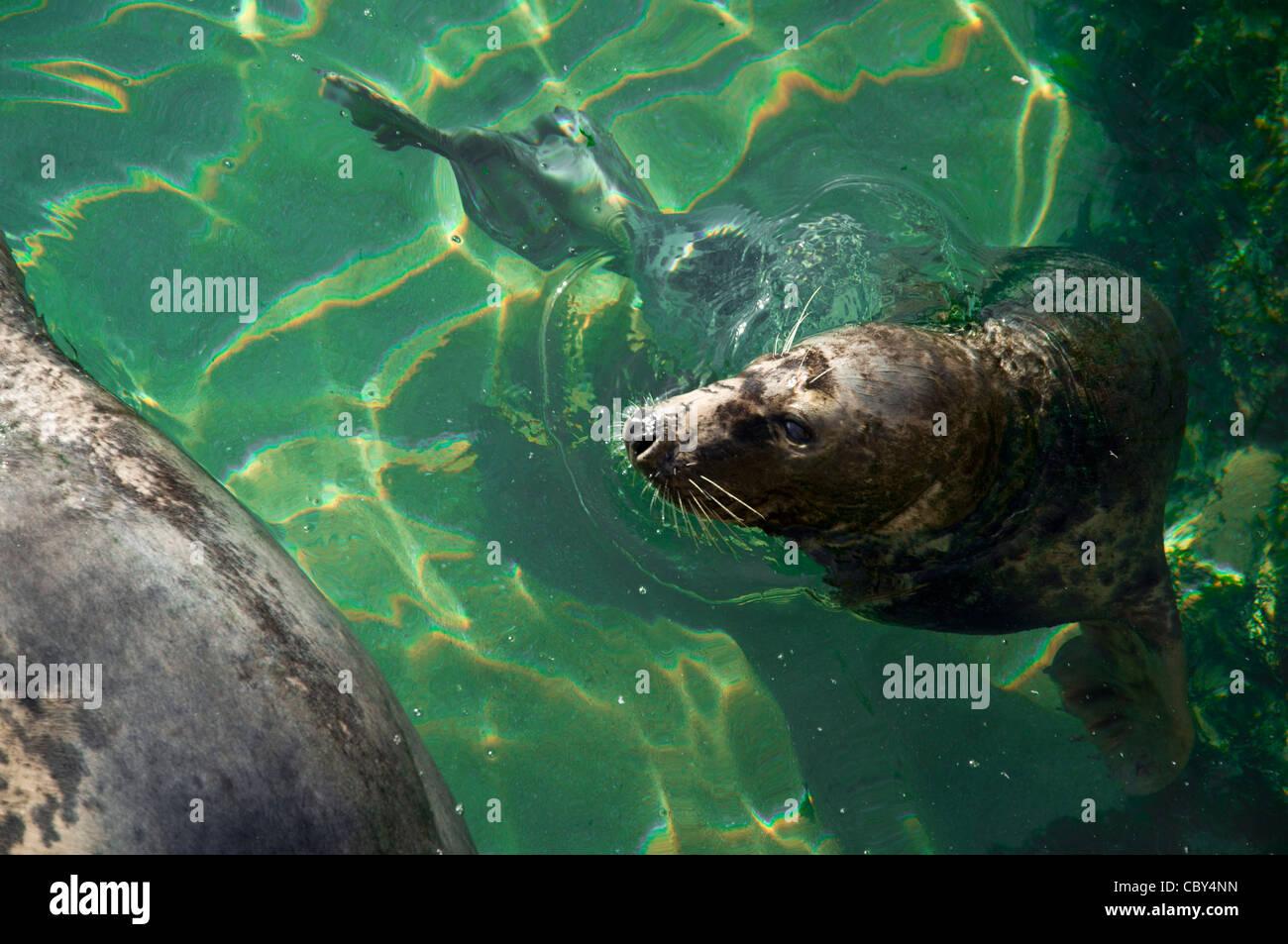 South American sea lion, Otaria flavescens, Otaridae, Carnivora - Stock Image