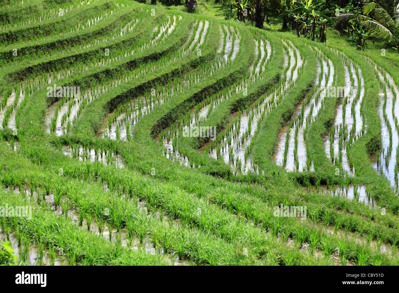 Wet rice field - rice terrace at Bali, Indonesia - Stock Image