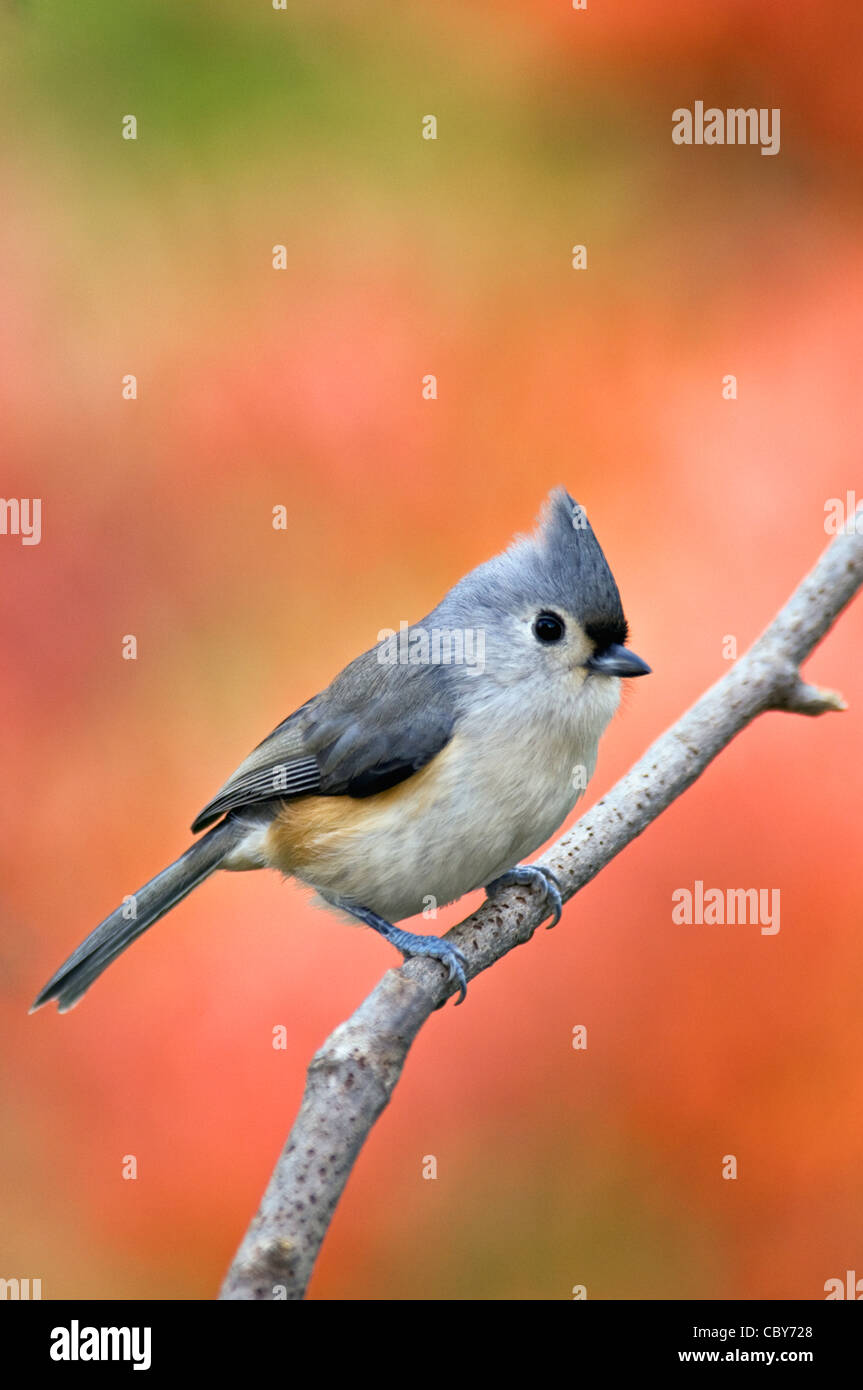 Tufted Titmouse Perched on Twig with Autumn Color Behind - Stock Image