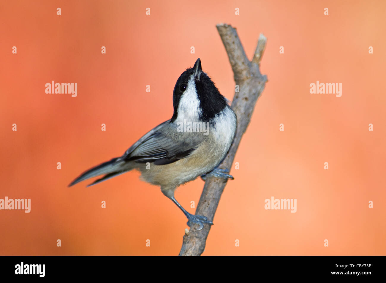 Carolina Chickadee and Autumn Color in Floyd County, Indiana - Stock Image
