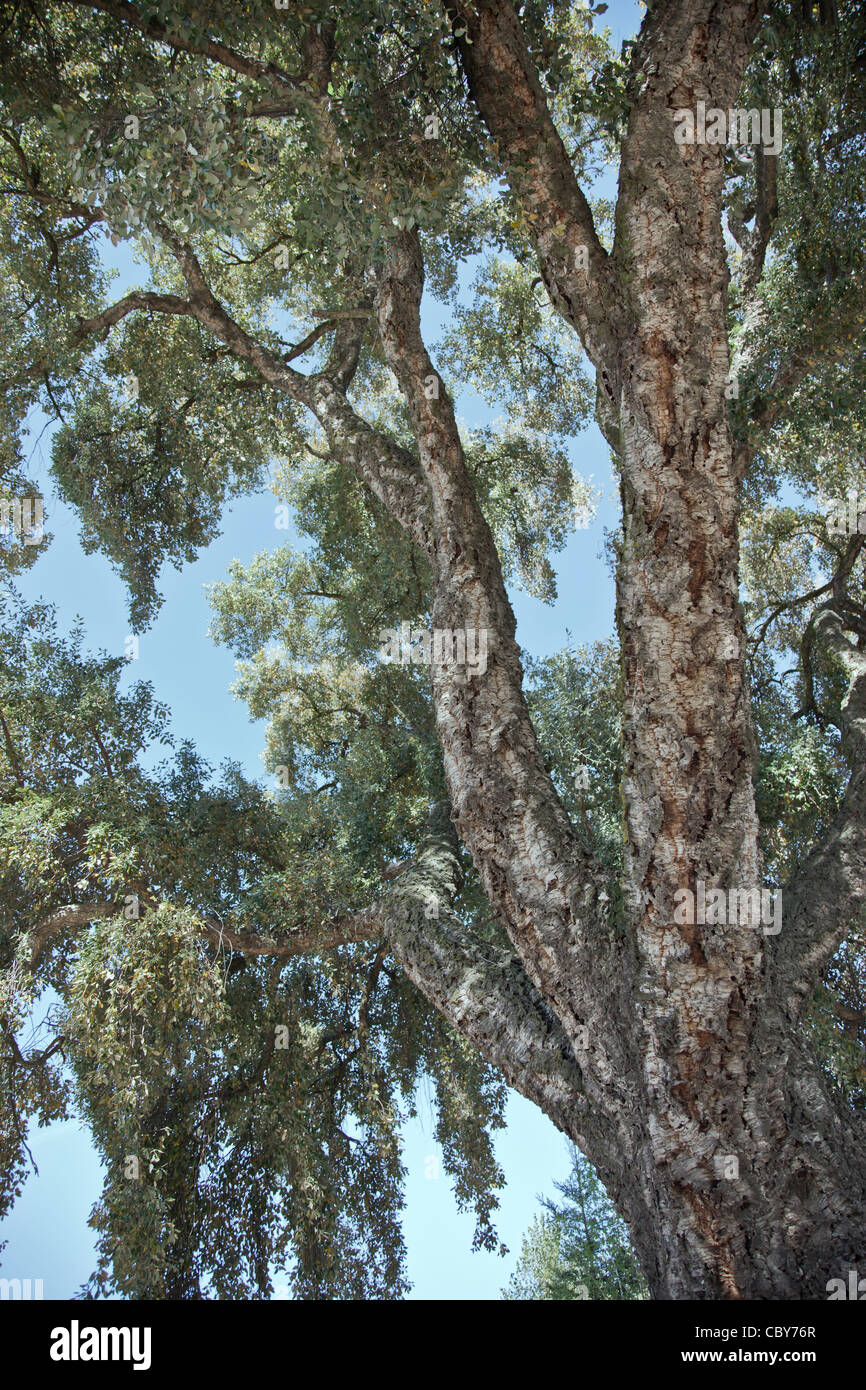 Mature Cork Oak tree. - Stock Image