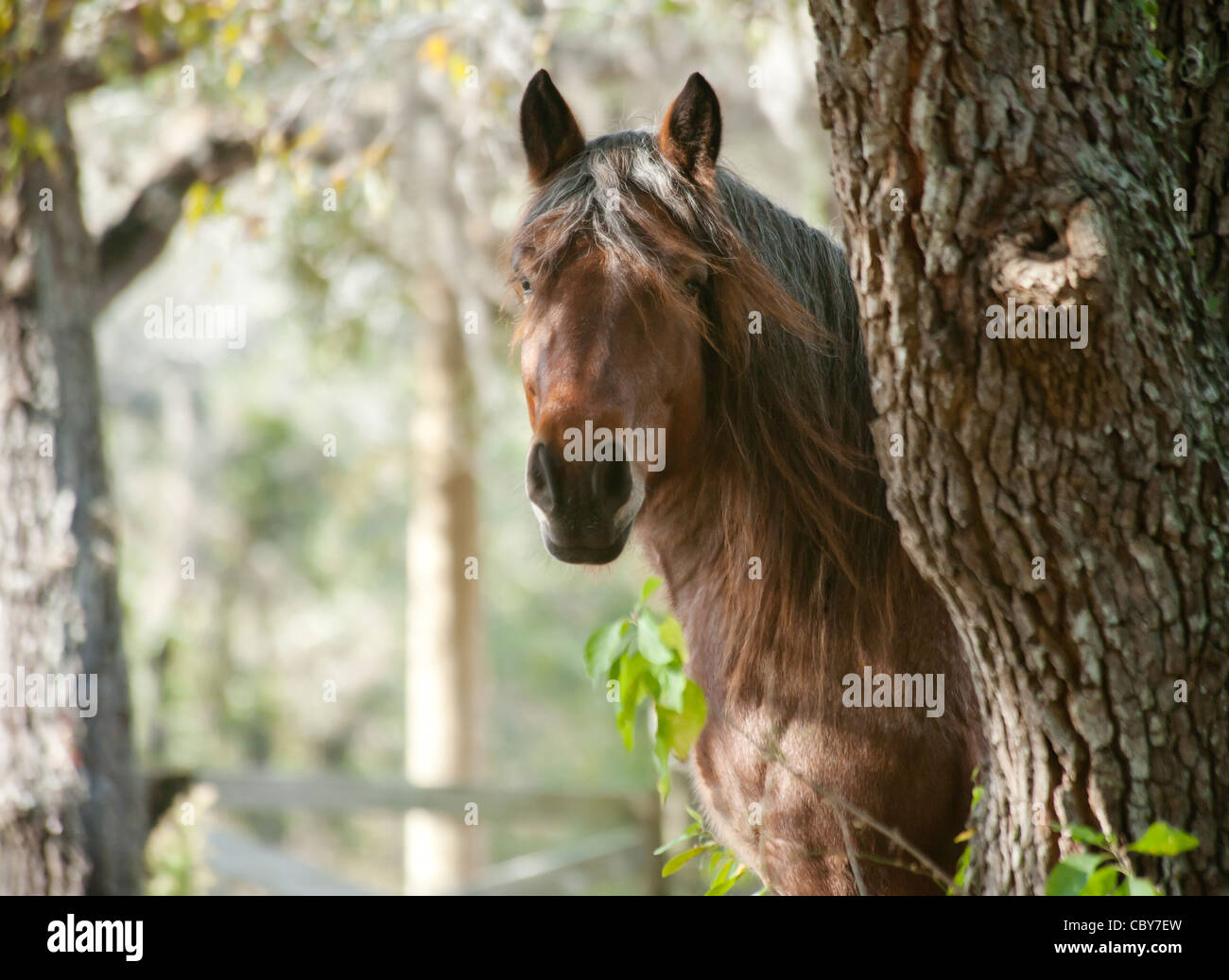 Ardennes Draft Horse mare - Stock Image