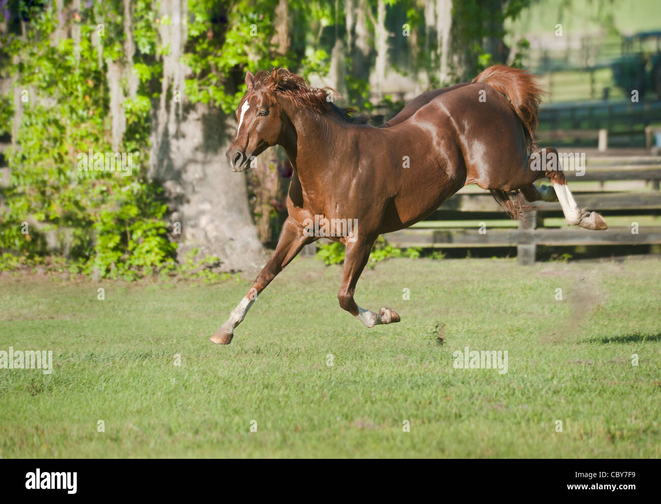 Thoroughbred horse stallion bucking in play - Stock Image