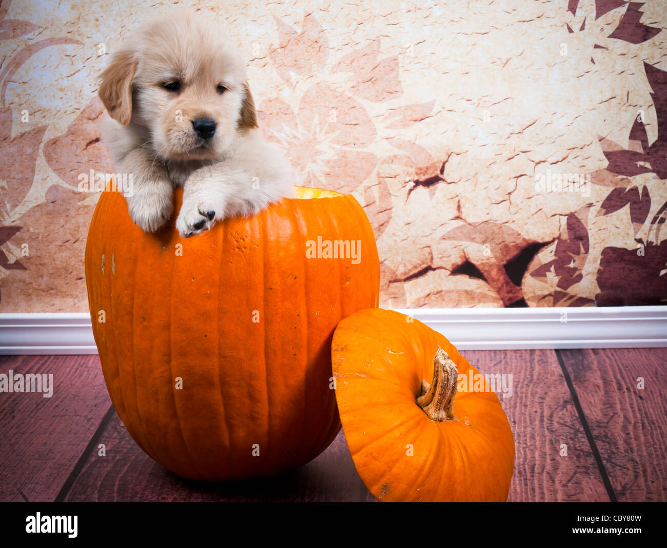 7 week old golden retriever puppy sitting in a pumpkin hollowed out to be made into a jack o lantern for halloween