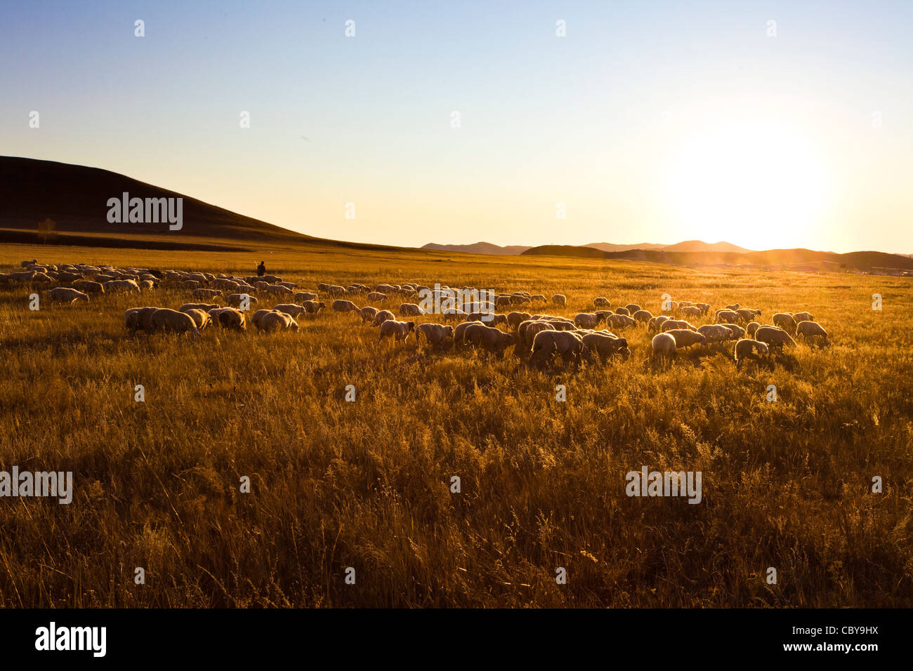 Sheep grazing in a field - Stock Image