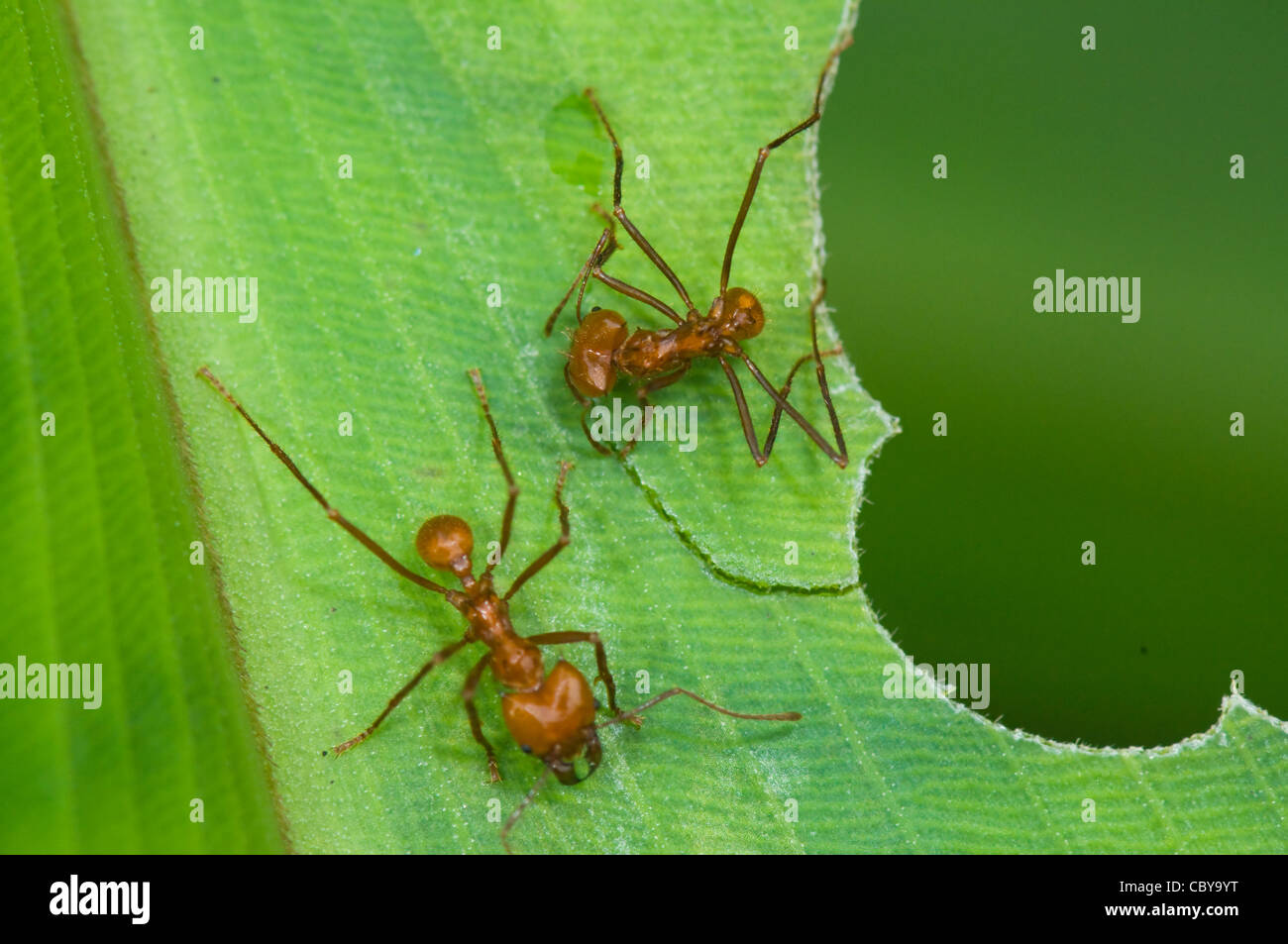Leaf-cutter Ants, San Vito, Costa Rica, Puntarenas Province Stock Photo