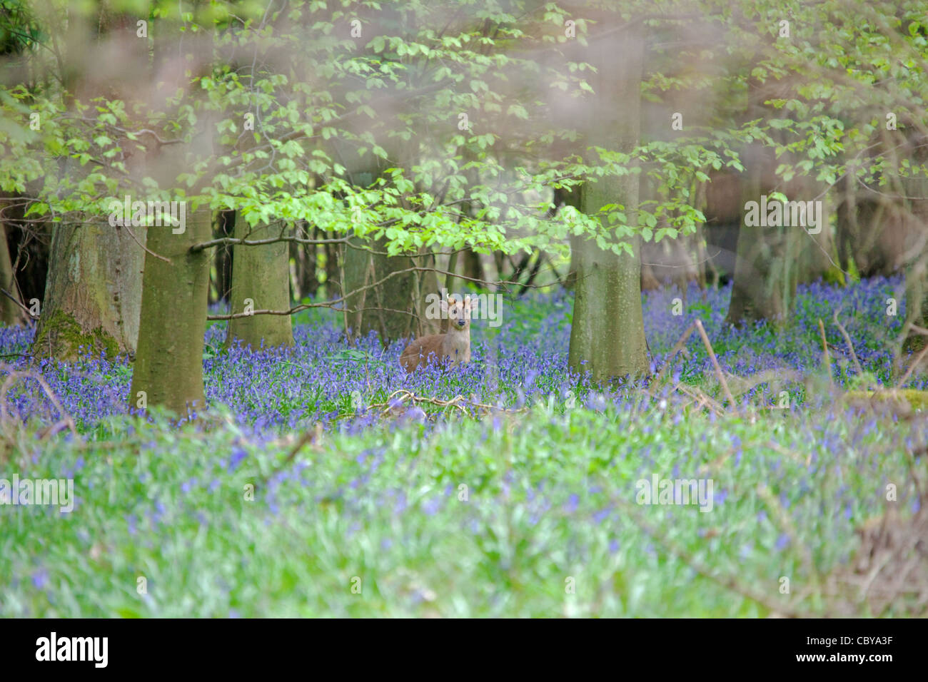 Muntjac Deer in Bluebell wood Near Amersham & Little Missenden that will partially destroyed by the HS2 High - Stock Image
