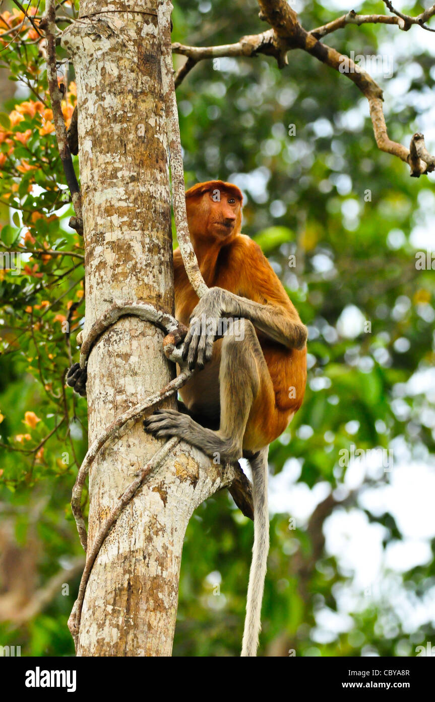 A proboscis monkey surveys its neighbourhood on the banks of the Sekonyer River, Tanjung Puting National Park, Borneo. - Stock Image