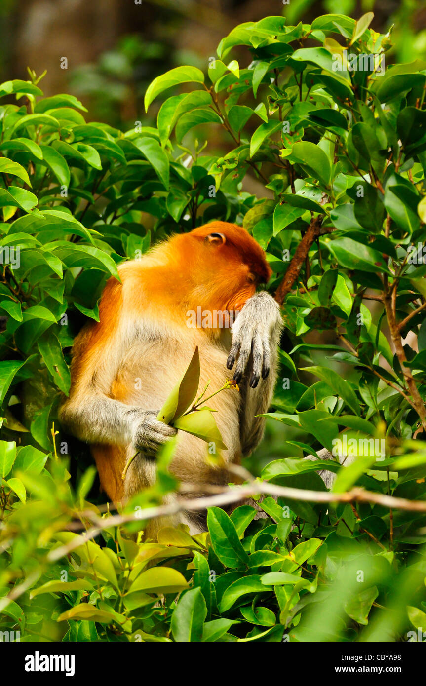 A proboscis monkey feeding on the banks of the Sekonyer River, Tanjung Puting National Park, Kalimantan Tengah, - Stock Image