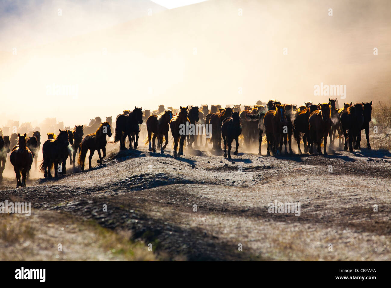 Horses being herded in Inner Mongolia - Stock Image