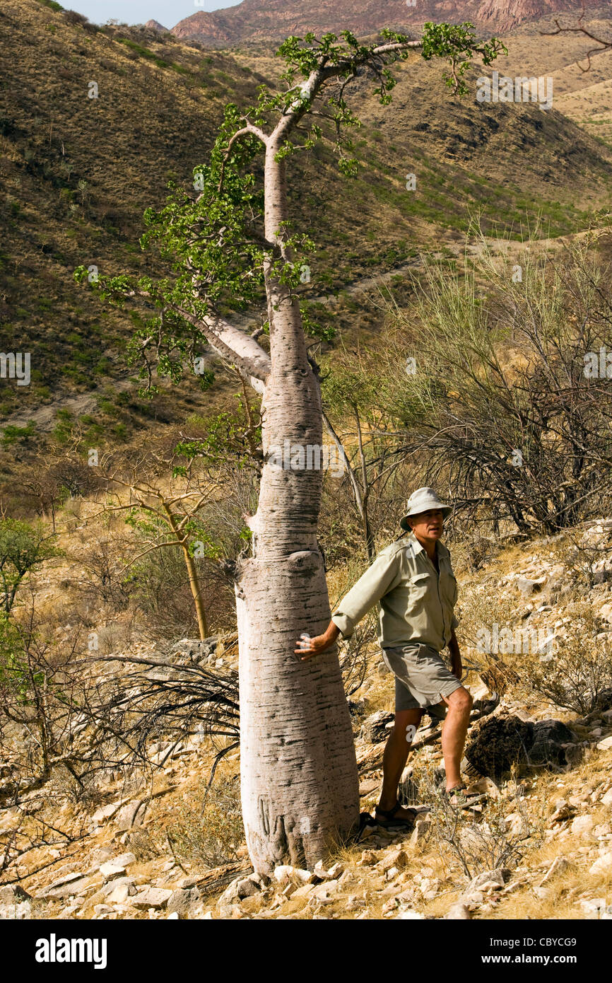 Bottle Tree - Pachypodium lealii - near Etambura Camp - Orupembe Conservancy - Kaokoland, Namibia - Stock Image