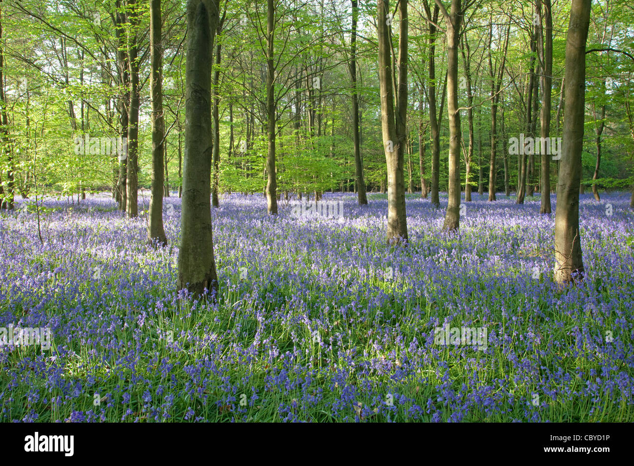 Bluebells in Spring. Piper's Wood Near Amersham & Little Missenden that will partially destroyed by the - Stock Image