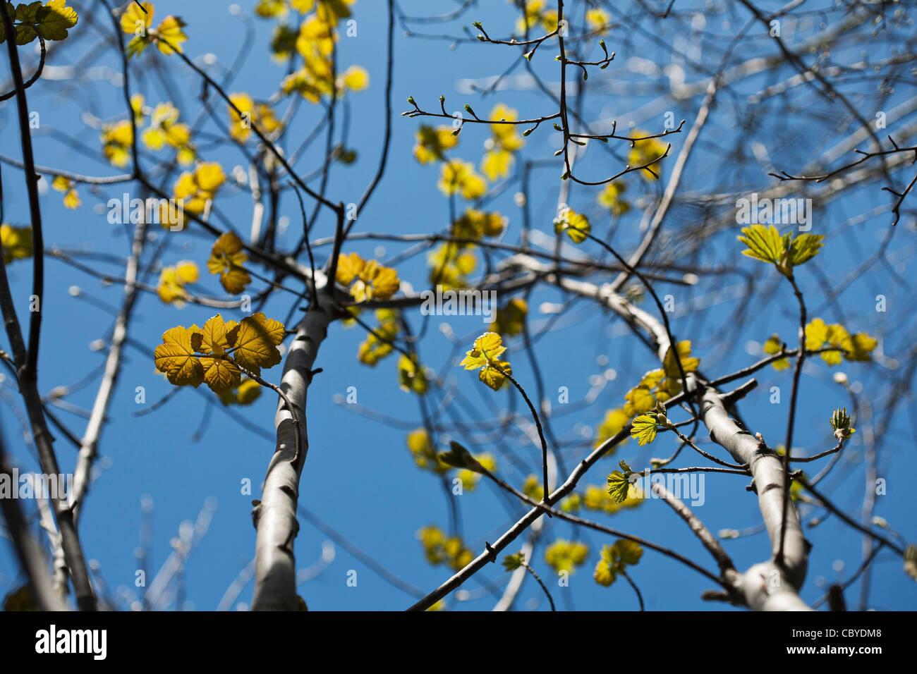 Sycamore Tree Spring Stock Photos Sycamore Tree Spring Stock