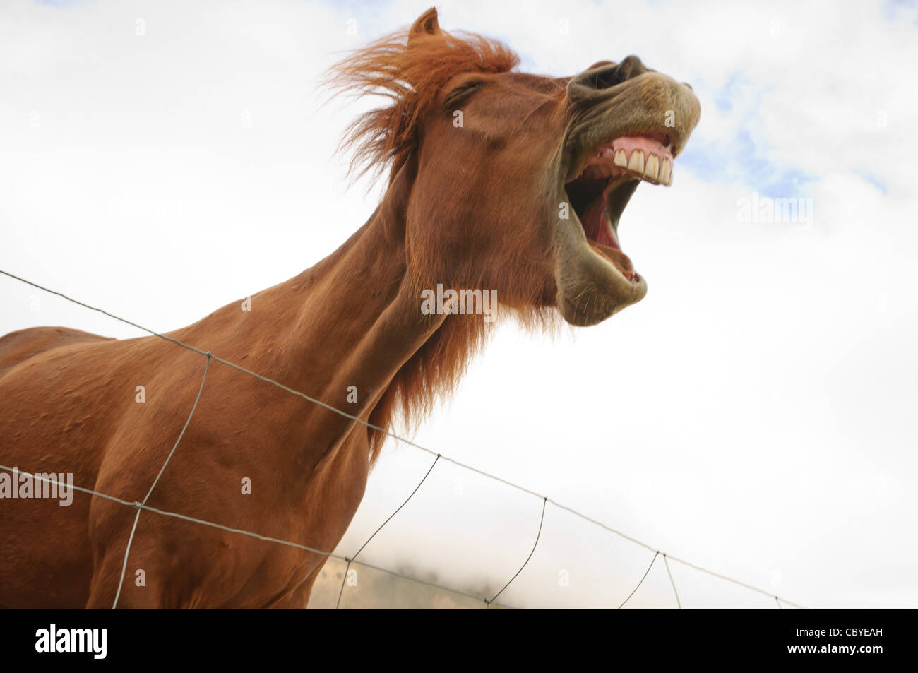 An Icelandic horse makes funny facial expressions. - Stock Image