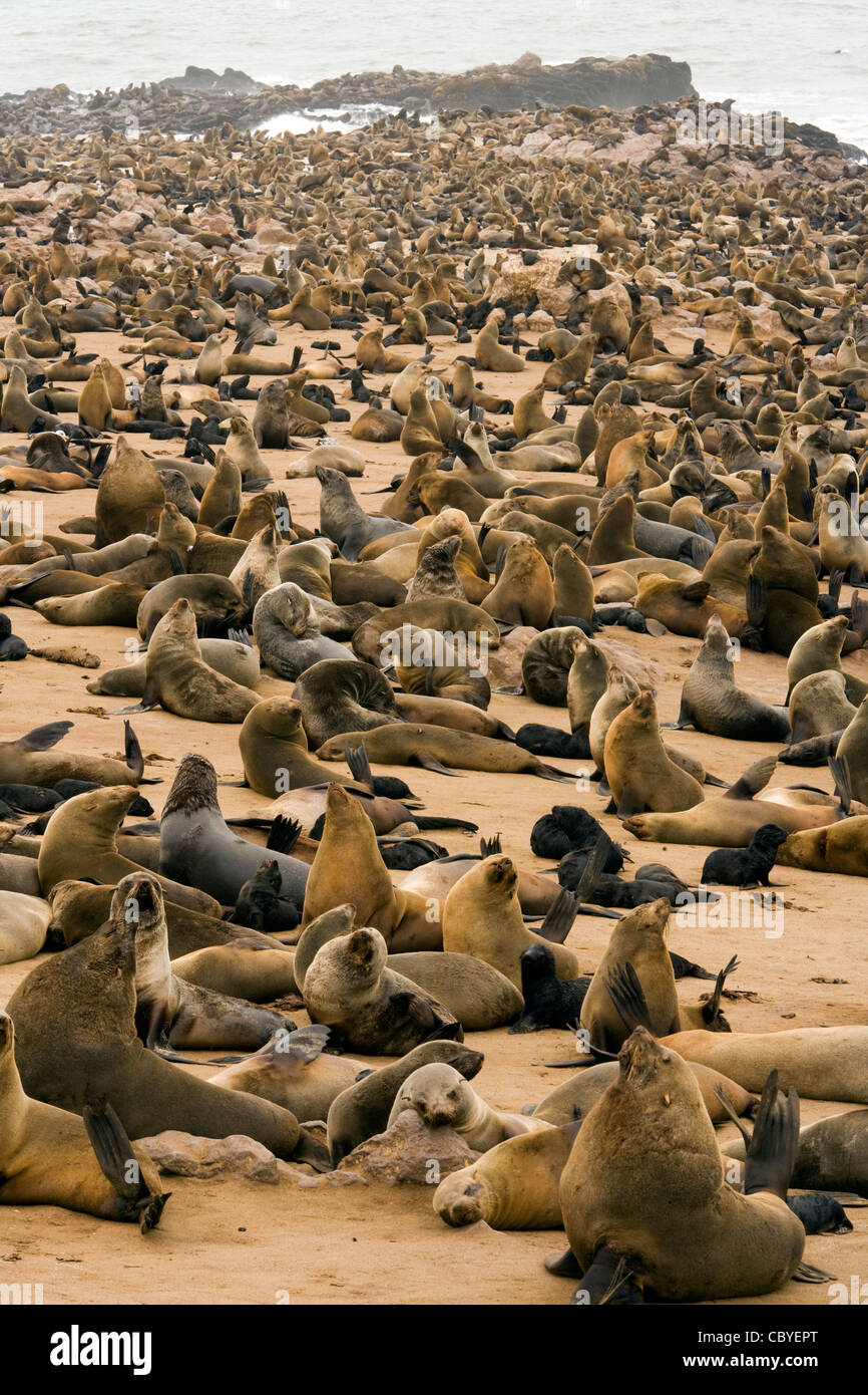 Cape Fur Seal Colony - Cape Cross Seal Reserve - near Henties Bay, Namibia, Africa - Stock Image