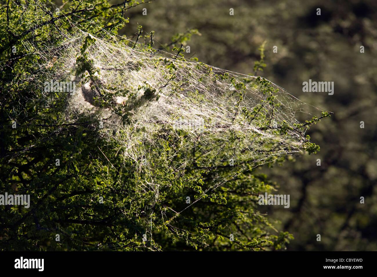 Communal Spider Web - Okonjima, near Otjiwarongo, Namibia, Africa - Stock Image