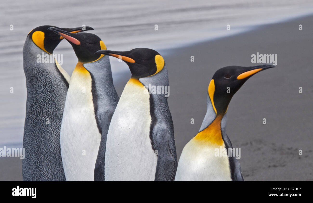 King Penguins (aptenodytes patagonicus), St Andrews Bay, South Georgia Stock Photo